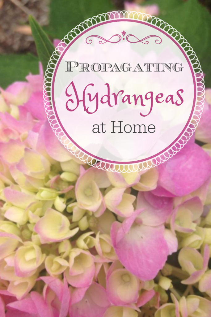 If hydrangeas are one of your favorite flowers, but you don't want to break the bank to fill your yard with them, I've got a solution. Propagate your own!