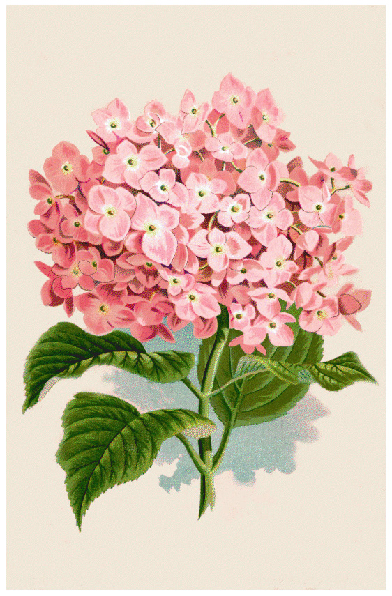 hydrangea-botanical-print