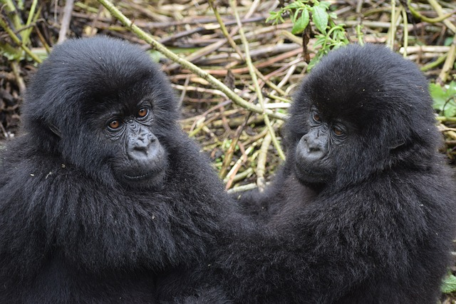 trekking mountain gorillas is one of the best things to do in Africa