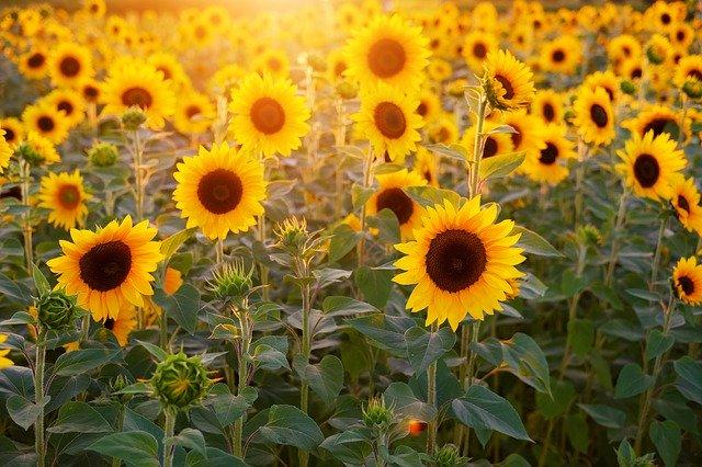 sunflower fields near chicago