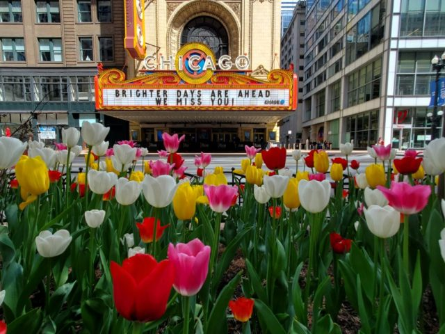 tulips across the Chicago Theatre on State Street in the spring