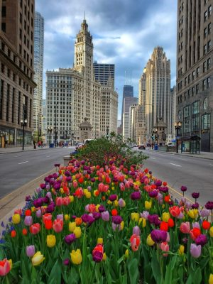 tulips on Michigan Avenue Chicago in the spring