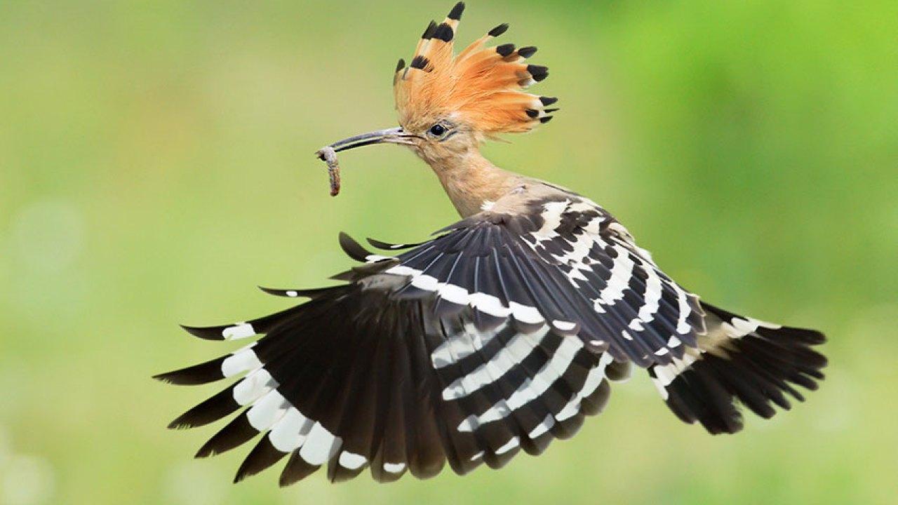 Birds in the Quran: The Hoopoe   Science & Faith
