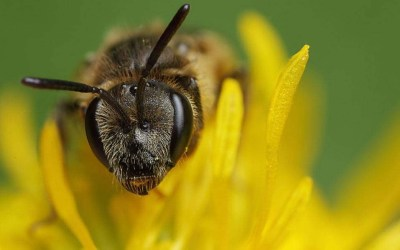 Bee social or buzz off: Study links genes to social behaviors, including autism