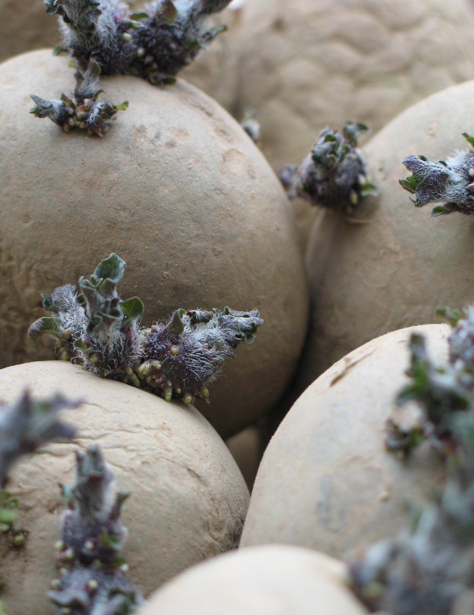 Scotland currently produces 75% of the UK's seed potatoes