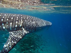 snorkelling and freediving with whale sharks, Mafia (3)