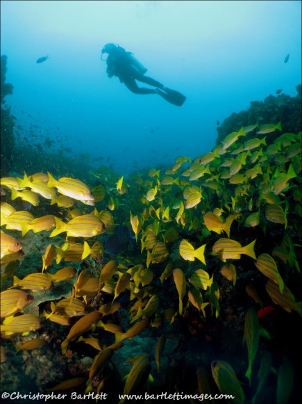 Snappers and diver on Manta Reef