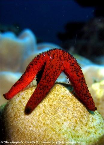 Starfish posing
