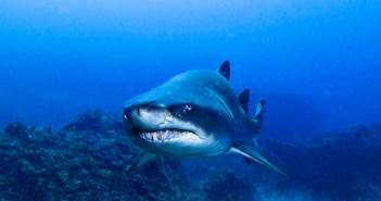 Shark Eat Shark World - Scuba Dive Asia - Sandshark