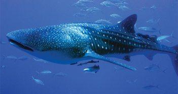 1.4 Whale shark