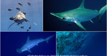 emperor-divers-red-sea-southern-sharks-1
