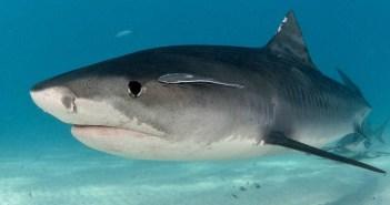 shark-frenzy