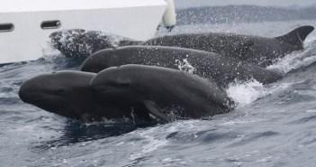 false-killer-whales-project-jonah-1