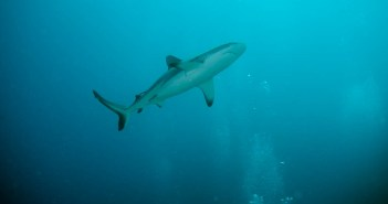 rowley_shark - copyright Odyssey Liveaboard