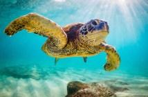 An endangered Hawaiian Green Sea Turtle cruises in the warm wate