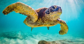 An endangered Hawaiian Green Sea Turtle cruises in the warm wate