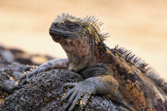 Marine iguana on Santiago Island, Galapagos National Park, Ecuad
