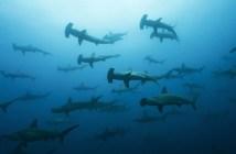 School of Hammerheads in Galapagos, the Pinnacle of Diving