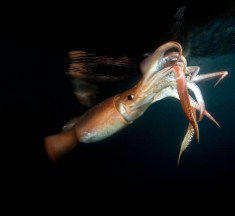 Learn more about Humboldt Squid