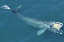 North Atlantic Whales