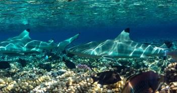 Black Tip Reef Sharks