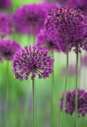 Alliums are fantastic in pots or in the ground