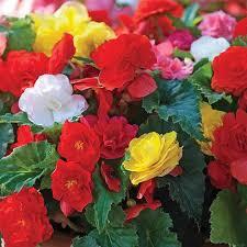 Begonias for hanging baskets