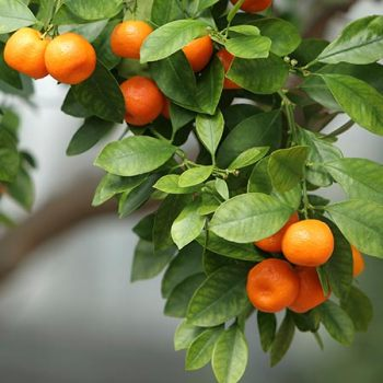 These citrus trees are great in the home, conservatory or on the patio in the warmer months. Their blooms have a delicious scent and the fruit makes lovely marmalade.