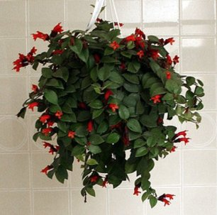 These pretty indoor plants are easy to care and have lovely red flowers. From £16.99