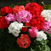 Geraniums for long lasting colour