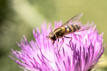 Attract the hoverflies