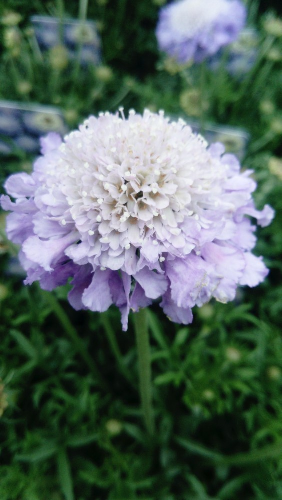 Scabious Butterfly blue £7.99 each or 2 for £14