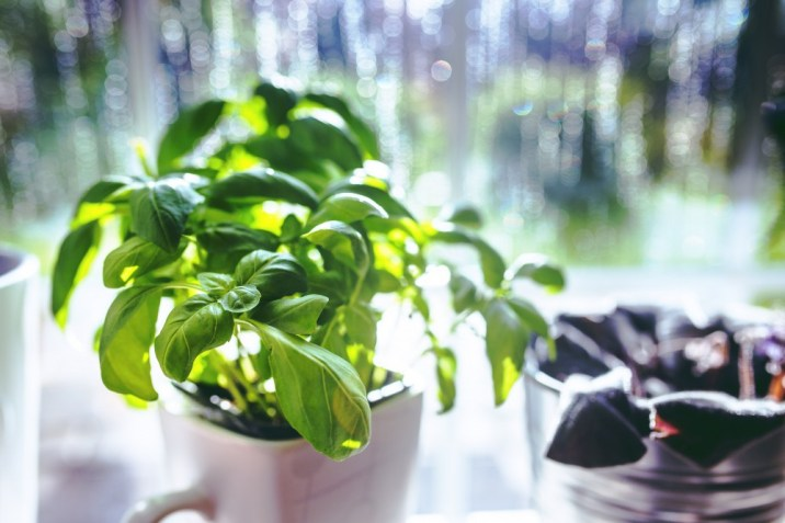 Basil is best grown in side on a sunny window sill.