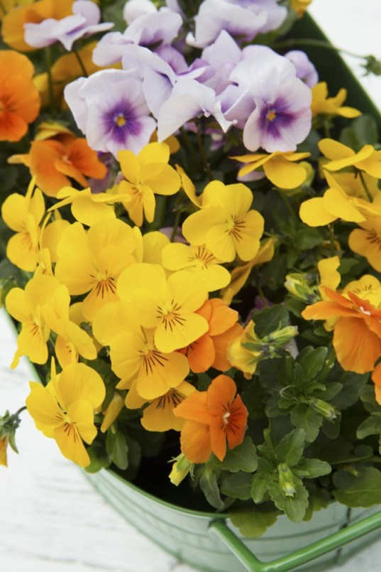 Violas and pansies are great for pots, basket and window boxes.