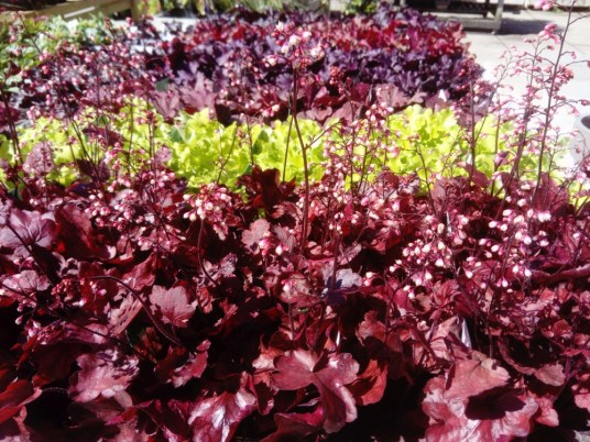 Heuchera 'Fire Chief' is in flower now!