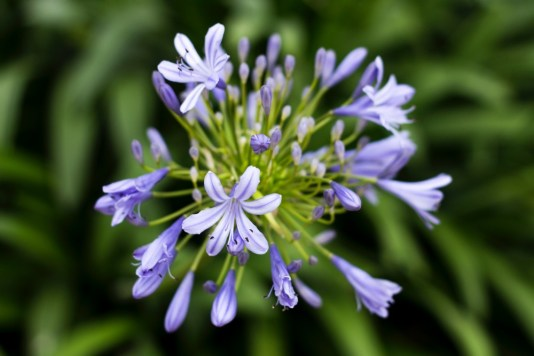 Agapanthus still have lots of life in them yet.