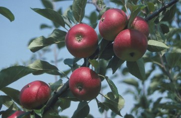 Apple Discovery Trees