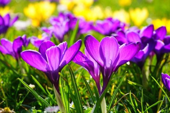 bloom-blossom-crocus-55828(1)