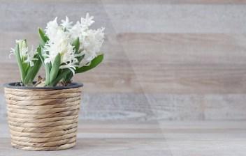 Hyacinth bulbs are just 70p each