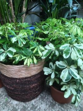 Umbrella plants