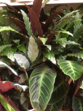 Lots Calatheas of all varieties