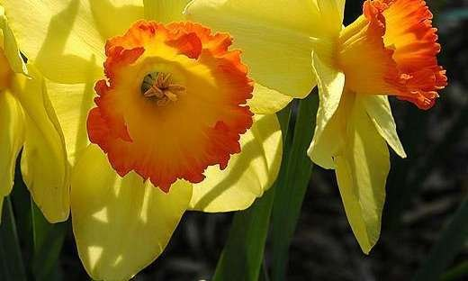Narcissus Red Devon
