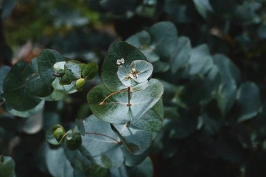 Eucolyptus