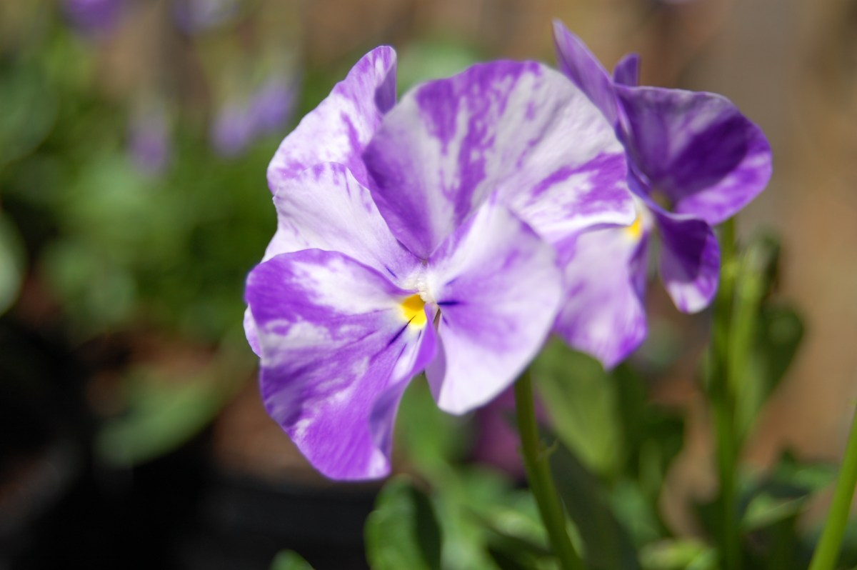 Viola Janet