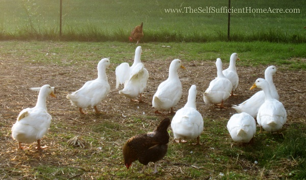 How to Butcher a Duck - The Self Sufficient HomeAcre