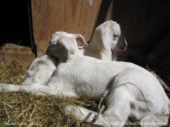Giving Up On Goats - The Self Sufficient HomeAcre