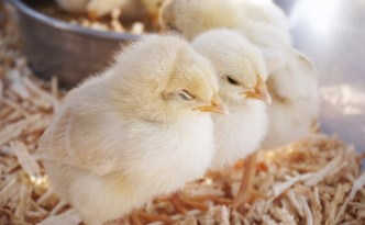 Day Old Chicks - The Self Sufficient HomeAcre
