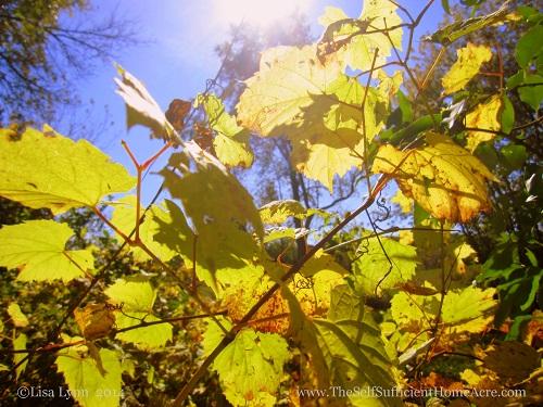 Grape leaves in the Autumn sun.