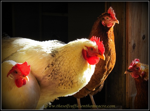 12 Ways to Reduce Your Chicken Feed Bill