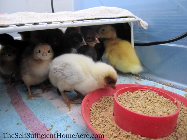 The new peeps seem quite comfortable in their Redneck Brooder Box.